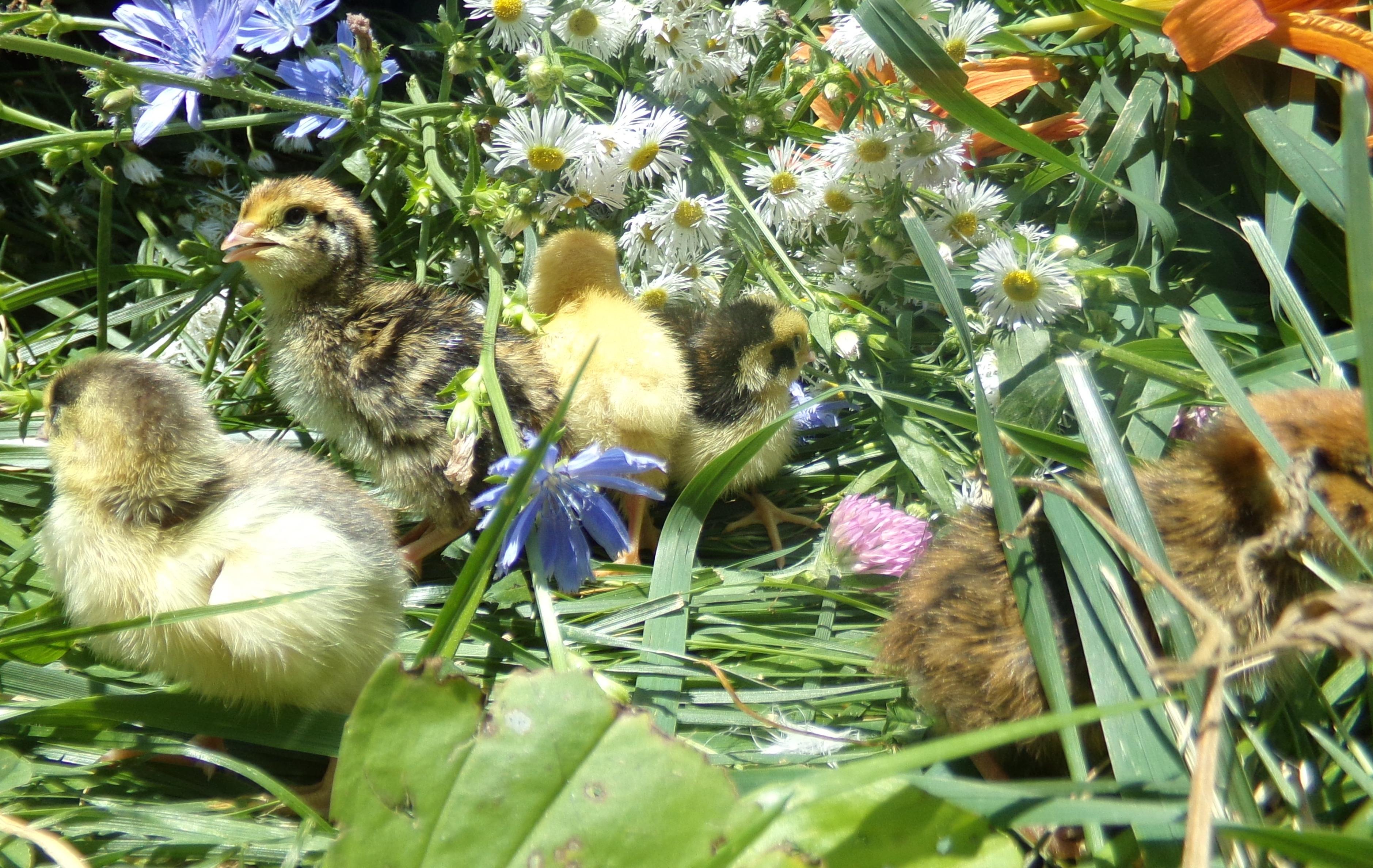 products u2013 myshire quality quail farm
